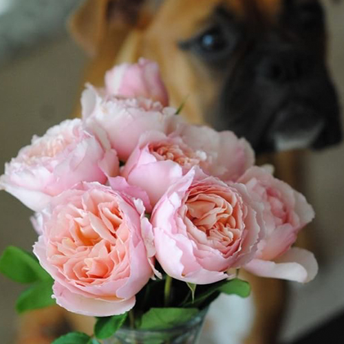Pink Cabbage Roses and A Boxer Dog